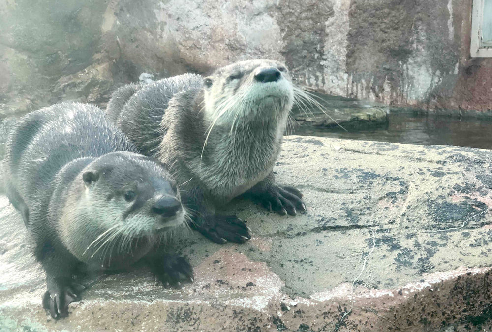 Olive, Kaleideum's Newest River Otter, Passes Away