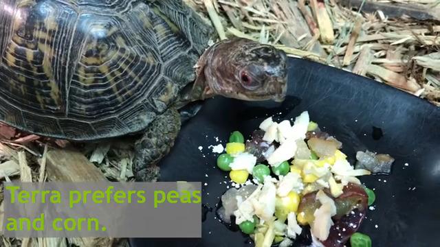 Terra, Kaleideum's Box Turtle