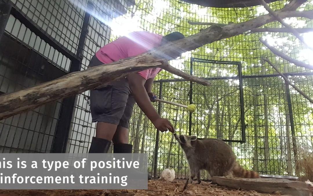 Training Rascal the Raccoon
